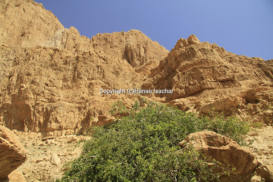 Dead Sea valley, Salvadora Persica tree (Toothbrush tree, Mustard tree) in Nahal salvadora