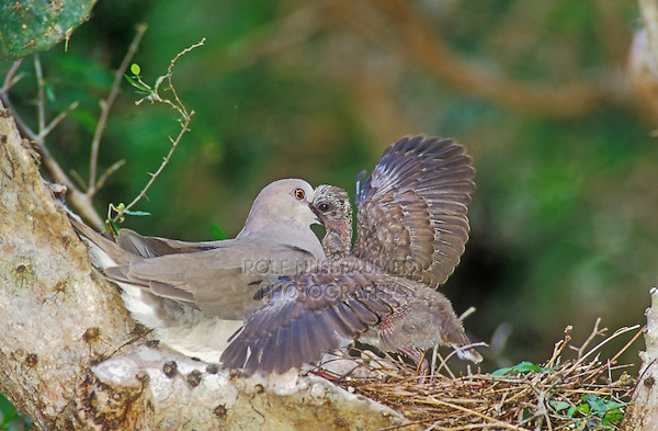 White-tipped Dove, Leptotila verreauxi,adult feeding young in nest on cactus, Cameron County, Rio Grande Valley, Texas, USA