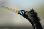 Anhinga Close up Profile