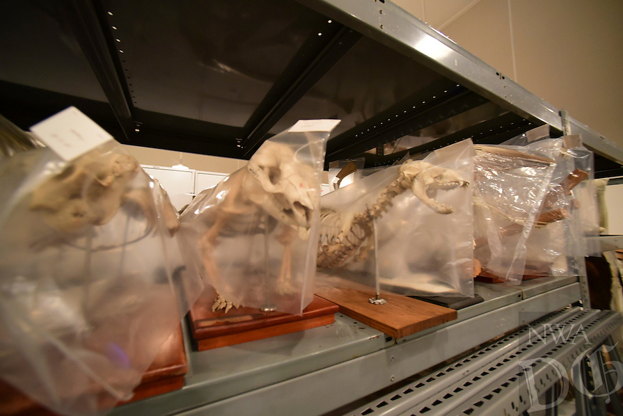 Northwest Arkansas Democrat Gazette/SPENCER TIREY Animal skeletons line a shelf at Univserity of Arkansas archeology departments archive in Fayetteville Friday, February 26, 2016.