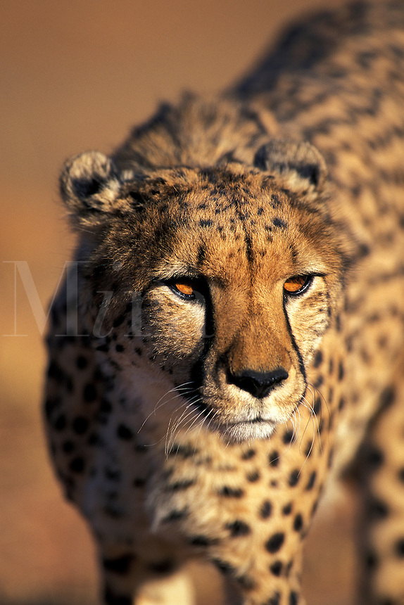 Cheetah, Acinonyx jubatus, Namibia, Africa