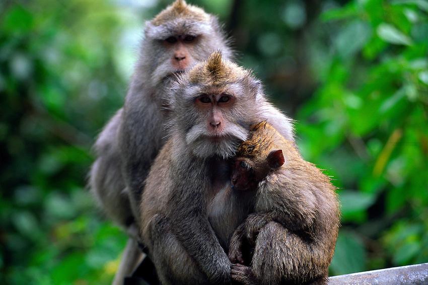 Monkeys, near Lake Buyan, Bali, Indonesia