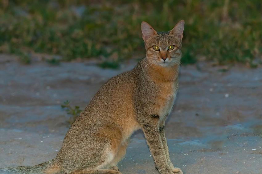 African wildcat, Nxai Pan National Park, Botswana.