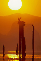 Osprey at nest in Columbia River Gorge at sunrise.  Pacific Northwest.  Spring.