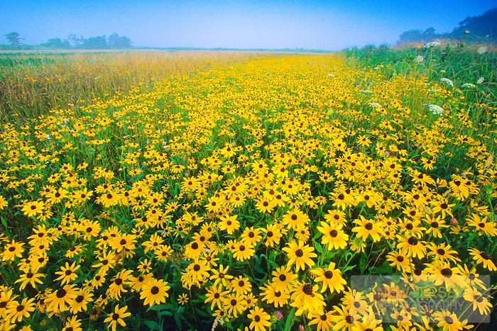 Black-eyed Susans, blooming wildflowers, Mannington Meadows, New Jersey