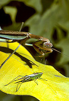 1M29-001a  Praying Mantis adult preying on grasshopper - Chinese Praying Mantis - Tenodera aridifolia sinensis.
