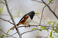 Eastern Towhee (Pipilo erythropthalmus erythropthalmus), Red-eyed subspecies, male, a spring migrant to New York City's Central Park.