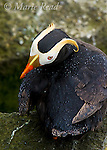 Tufted Puffin (Fratercula cirrhata), closeup view from above, raindrops on feathers, St. Paul Island, Pribilofs, Alaska, USA