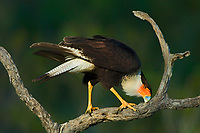 511580086 a wild adult crested caracara caracara plancus cleans its bill on a dead snag in the rio grande valley of south texas