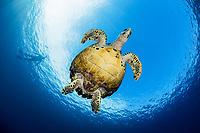 hawksbill sea turtle, Eretmochelys imbricata, Raja Ampat Islands, West Papua, Indonesia, Indo-Pacific Ocean