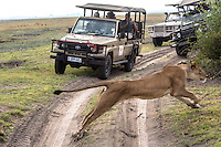 Africa, Botswana, Kasane, Chobe National Park, lion jumping in front of safrai vehicles.