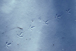 Ruffed grouse, Bonasa umbellus, game bird, gallinaceous, tracks in snow<br />