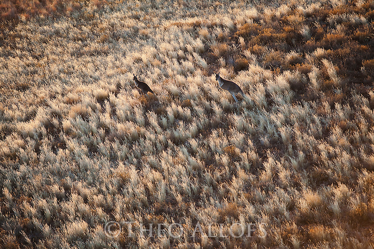 Australia,  NSW, Sturt National Park; red kangaroos (Macropus rufus) in grassland, aerial view; the red kangaroo population increased dramatically after the recent rains in the previous 3 years following 8 years of drought