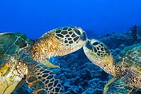 green sea turtle, Chelonia mydas, pair, Kona Coast, Big Island, Hawaii, USA, Pacific Ocean Ocean
