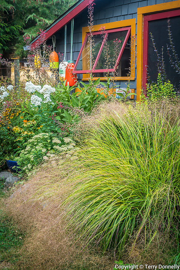 Vashon-Maury Island, WA: Anemanthele lessoniana 'Pheasant's Tail Grass' in front of shed with colorful buoys.