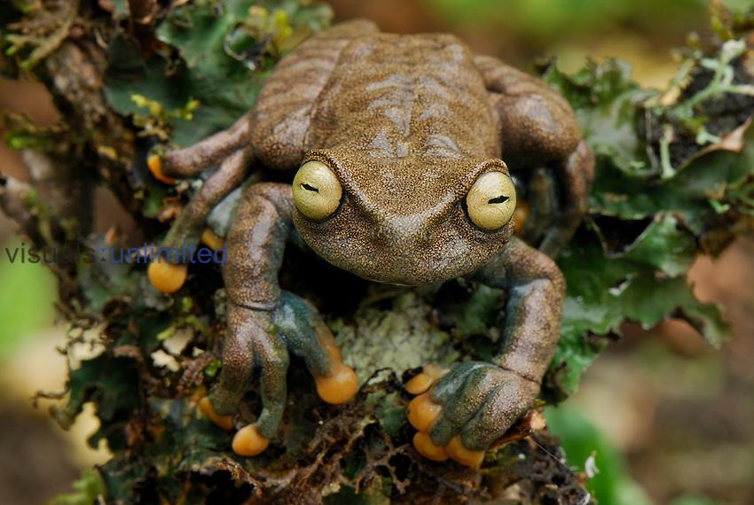 Linda's Tree Frog (Hyloscirtus lindae), Coln, Depart. Putumayo, Colombia