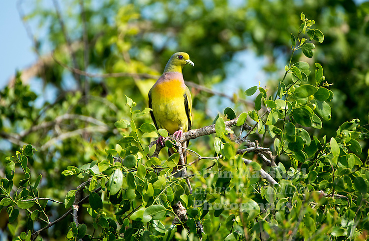 Orange-breasted green pigeon (Treron bicinctus) is a pigeon found across tropical Asia south of the Himalaya across the Indian Subcontinent and parts of Southeast Asia. Like other green pigeons, it feeds mainly on small fruit. They may be found in pairs or in small flocks, foraging quietly and moving slowly on trees. Habarana, Sri Lanka.