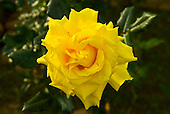 Fazenda Bauplatz, Brazil. Bright yellow rose.