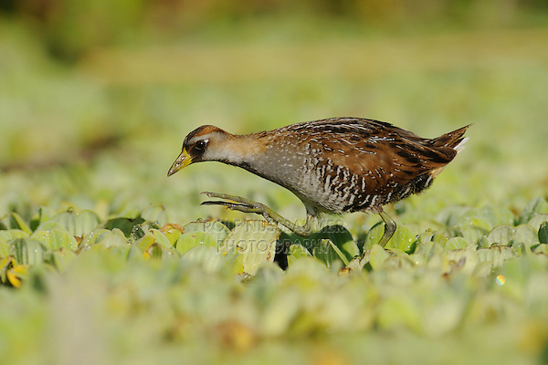 Sora (Porzana carolina), immature walking on water lettuce, Refugio, Coastal Bend, Texas Coast, USA