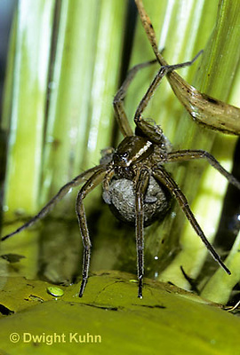 NS01-003z  Six Spotted Fishing Spider - with egg case - Dolomedes triton