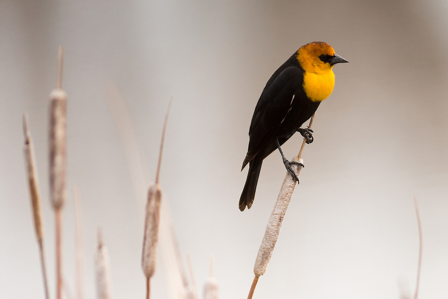 A Yellow-Headed Blackbird perches on a cattail on a ranch in Jefferson County, Montana.