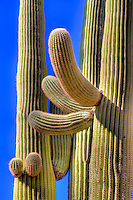 Unusual shapes are formed by the Giant Saguaro Cactus at Saguaro National Park, Arizona
