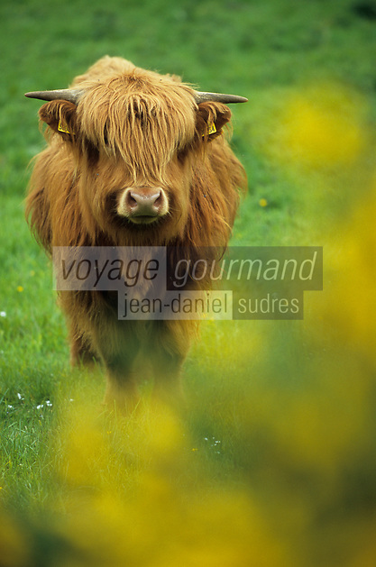 Europe/Grande-Bretagne/Ecosse/Highland/Env de Grantown on Spey : Boeuf des Highlands de race Angus