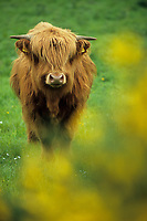 Europe/Grande-Bretagne/Ecosse/Highland/Env de Grantown on Spey : Boeuf des Highlands de race Angus