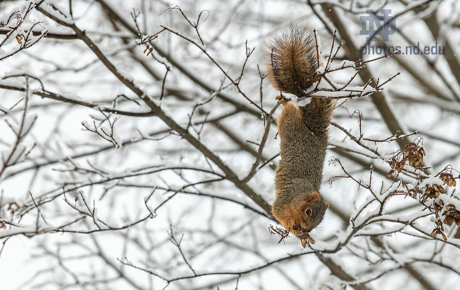 January 4, 2020; A squirrel nibbles on some berries. (Photo by Barbara Johnston/University of Note Dame)
