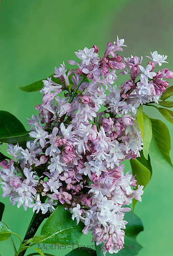 Hybrid french liliac, Syringa vulgaris, in shades of purple, pink, and lavender, with muliple delicate flowers