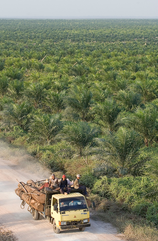 A truck carries logs down a road in a palm oil plantation that was once a forest. PT. Agro Bukit