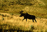 WY: Wyoming; Yellowstone National Park, Moose                        .Photo Copyright Lee Foster, lee@fostertravel.com, www.fostertravel.com, (510) 549-2202.Image: wyyell218