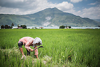 Female farmer working in a rice paddy field at Lake Toba (Danau Toba), North Sumatra, Indonesia