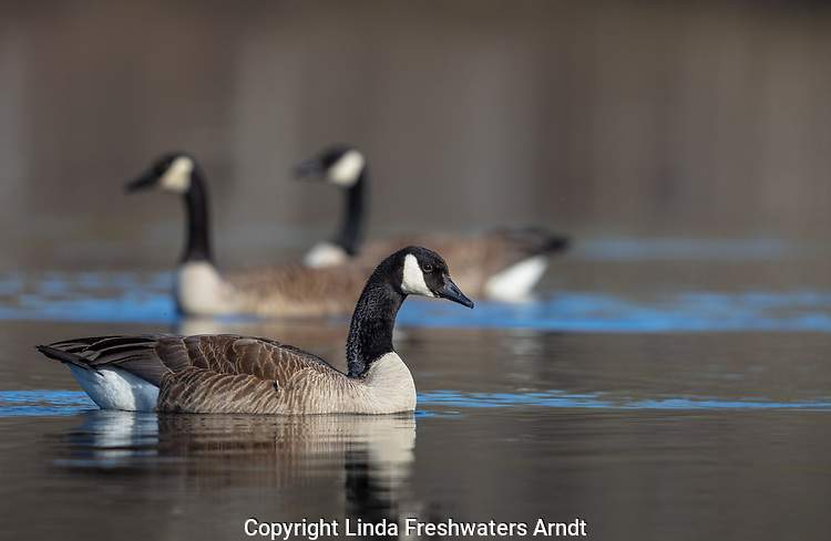Canada geese swimming in a northern Wisconsin lake.