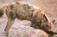 Wild dogs are gregarious animals and sometimes form packs of up to 40 individuals. Their method of hunting is to run tirelessly after their prey until it is too exhausted to continue or is brought down by a bite to the groin. Larger prey can be attacked and be disembowelled or have pieces of flesh torn off while still running.