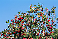 Ripe Red Apples growing on Orchard Tree Branches, South Okanagan Valley, BC, British Columbia, Canada - Fresh Fruit