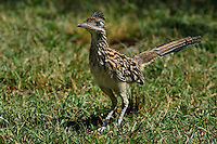 "The Roadrunner is the most fictionalized bird in popular imagination. Cowboys used to tell tall tales about how Roadrunners would seek out rattlesnakes to pick fights, or would find sleeping rattlers and build fences of cactus joints around them. A later generation of Americans grew up thinking that Roadrunners were purple and cried ""beep beep"" as they sped about."