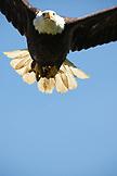 USA, Alaska, Homer, a bald eagle in flight near Beluga Lake off on Lake Road
