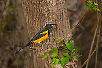 561860012 a rare texas songbird visitor a black-vented oriole icterus weglari perches on a tree limb at bentsen state park hidalgo county texas united states