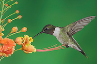 Ruby-throated Hummingbird, Archilochus colubris, male in flight feeding on Red Bird Of Paradise (Caesalpinia pulcherrima), Willacy County, Rio Grande Valley, Texas, USA, May 2006