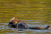 Sea Otter (Enhydra lutris) mom with young pup being checked out by another sea otter.