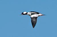Bufflehead Duck, Inks Dam National Fish Hatchery