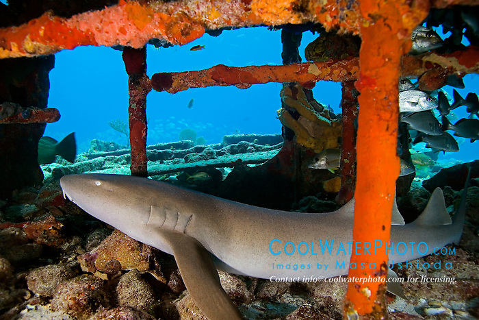 Nurse Shark, Ginglymostoma cirratum, resting in Sugar Wreck, the remains of an old sailing ship that grounded many years ago, West End, Grand Bahamas, Atlantic Ocean