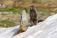 Hoary Marmot (Marmota caligata) in alpine area of Cascade Mountains, Pacific Northwest.  Summer.