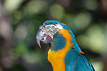 Blue and Gold Macaw, a South American parrot. (captive)