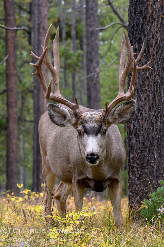 That moment when you're sitting on the forest floor, and Mr. Buck comes in slowly for a close inspection. I have to admit, this was a bit unnerving but it was also cool to see all the non-typical character in his antlers. Can't imagine what he thought of me although I'm sure I got the better end of the deal. September 2017