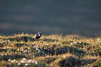 American golden plover, Utukok Uplands, National Petroleum Reserve Alaska, Arctic, Alaska.
