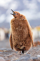king penguin, Aptenodytes patagonicus, chick, also known as 'Oakum Boy', Salisbury Plain, South Georgia, South Atlantic Ocean
