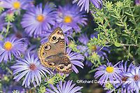 03411-01303 Common Buckeye (Junonia coenia) on Frikart's Aster (Aster frikartii) Marion Co. IL