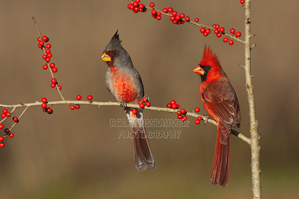 Pyrrhuloxia (Cardinalis sinuatus), male and Northern Cardinal, (Cardinalis cardinalis) eating Possum Haw Holly (Ilex decidua) berries, Starr County, Rio Grande Valley, South Texas, USA